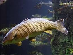Phân tích ý nghĩa giấc mơ thấy con cá chép