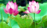 Điềm báo về giấc mơ thấy hoa sen