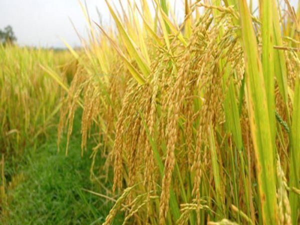 Nằm mơ thấy lúa là điềm gì – Đánh số nào phù hợp